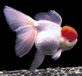 怪金鱼游泳喜欢肚朝上