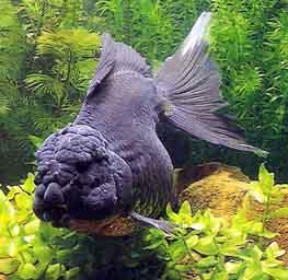 高锰酸钾在金鱼养殖中的运用