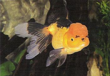 金鱼鱼鳔失调症的防治