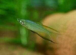 淡水鱼类常见并发症的治疗