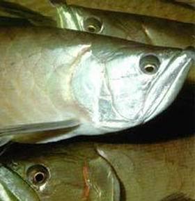 关于龙鱼的眼球陷落症