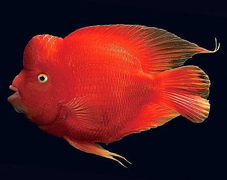 贺玛兰红财神鹦鹉鱼