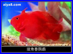 独角兽鹦鹉鱼