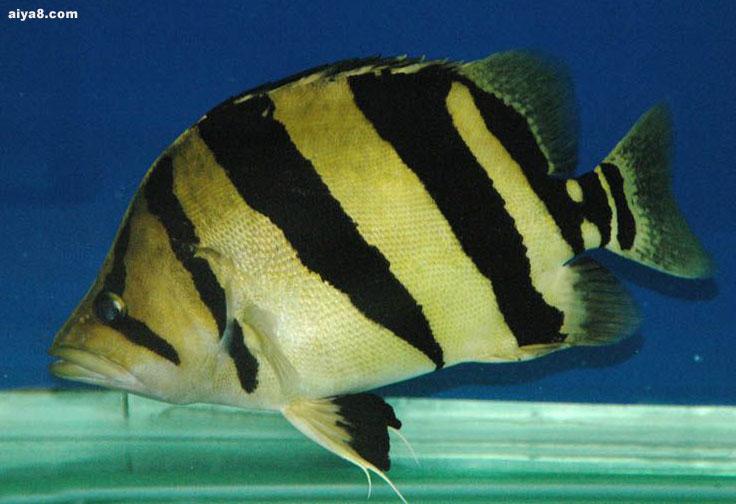 关于泰国虎鱼