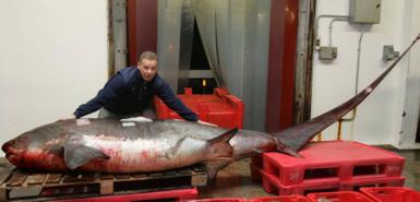 英国男子捕到世界最大长尾鲨 体长5米