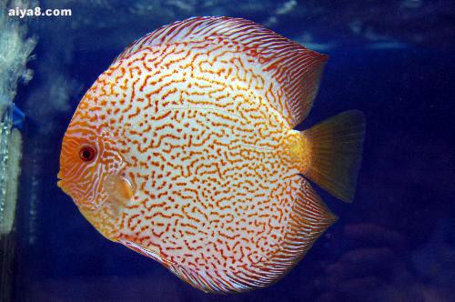 2007第十届新加坡国际观赏鱼参展鱼组冠军七彩神仙鱼图片欣赏