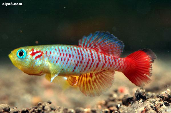贡氏红圆尾锵鱼