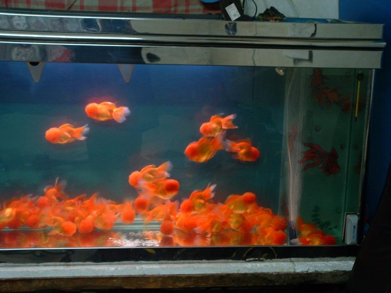 红狮头金鱼