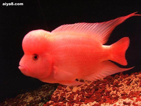 维生素对于罗汉鱼喂养的重要性
