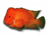 罗汉鱼红财神品系