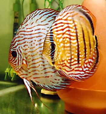 七彩神仙鱼水质处理