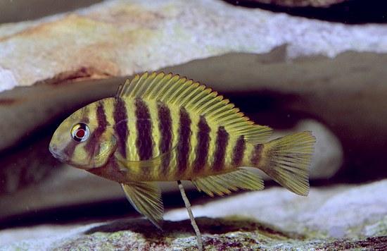 虎皮蝴蝶鱼