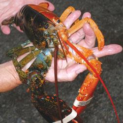 双色龙虾现美国