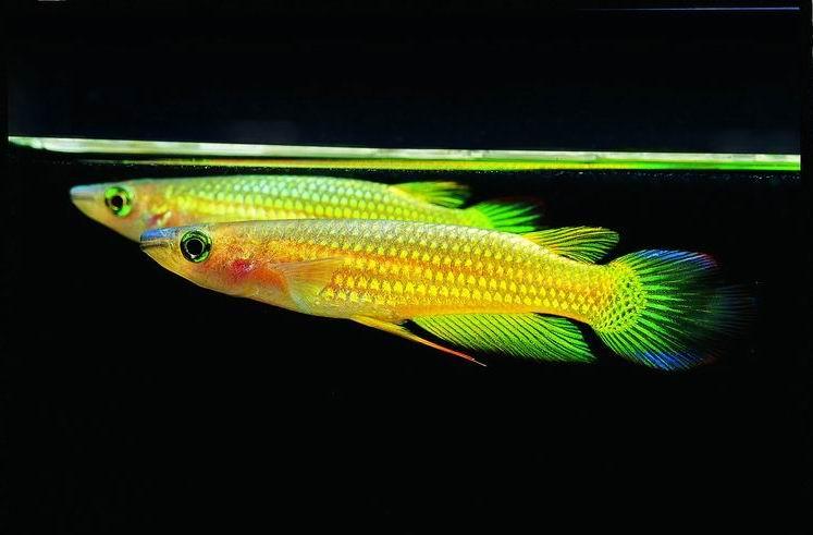 漂亮的黄金�鱼