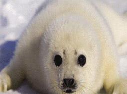 加拿大今年将猎杀27万只海豹