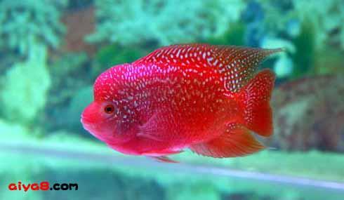 红血小宝马罗汉鱼