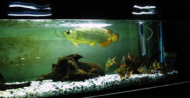 龙鱼拒食现象的原因分析