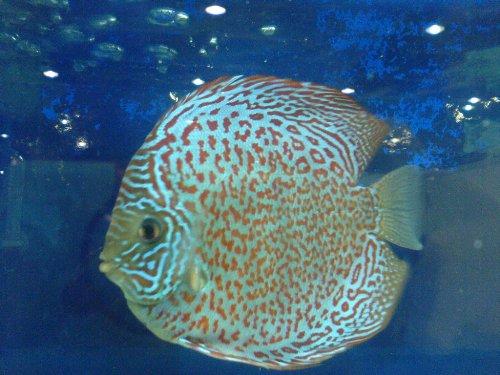 淡水神仙鱼管理