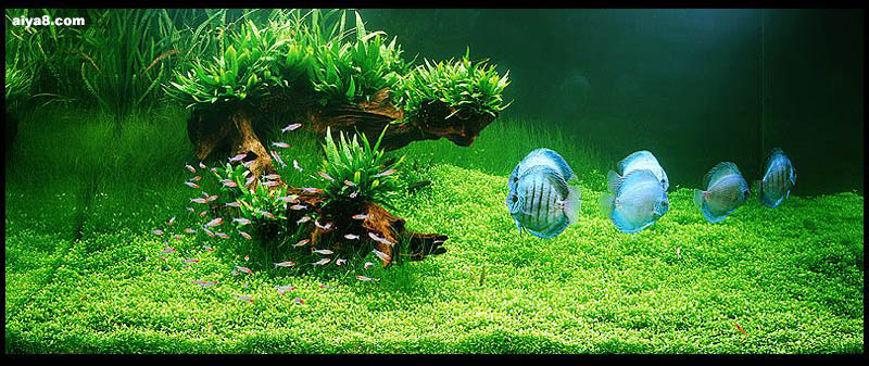 水草造景的流派和技艺(2)