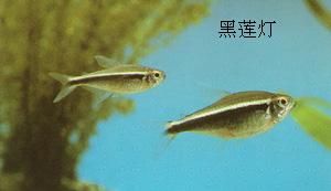小型鱼黑莲灯