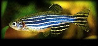 小型鱼斑马鱼