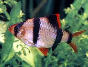 小型鱼虎皮鱼
