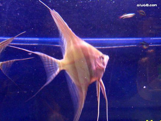 埃及神仙鱼图片