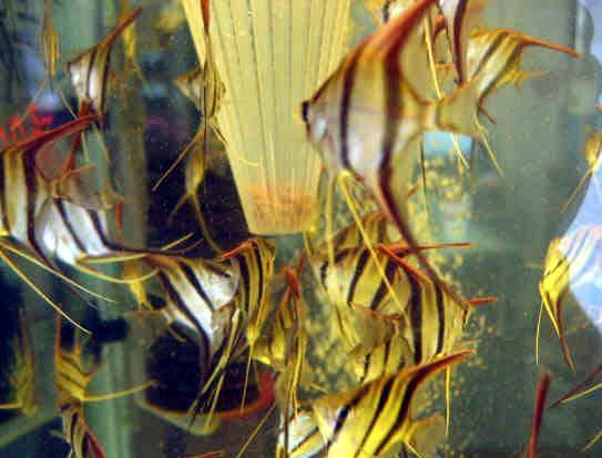 埃及神仙鱼群
