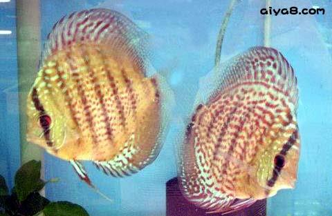 七彩神仙鱼寄生虫