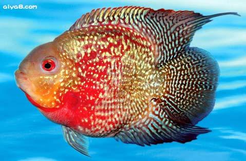 麒麟鹦鹉鱼