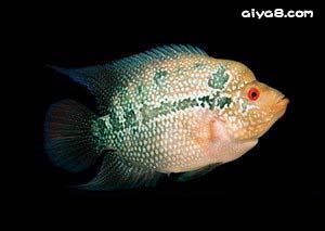 罗汉仔鱼--绝对好品种