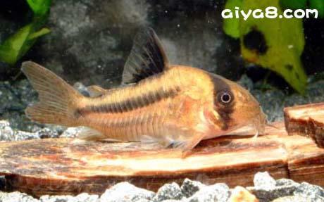 12种代表性鼠鱼的产地简析