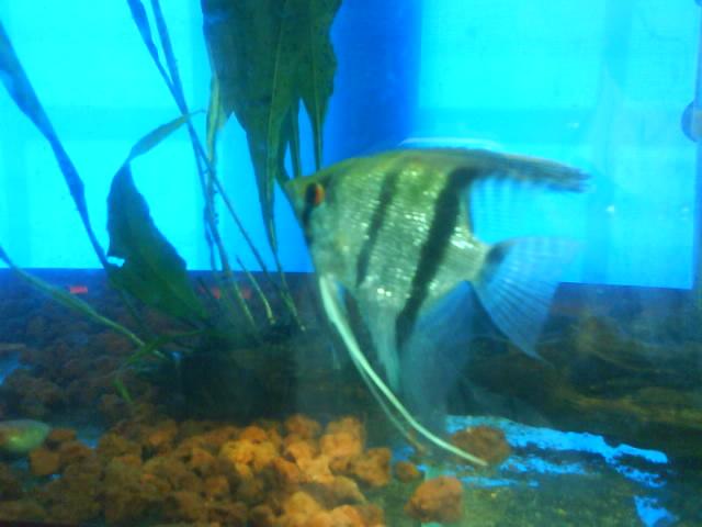 我的斑马神仙鱼