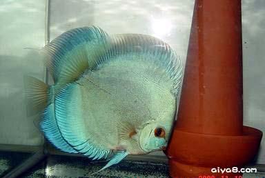 七彩神仙鱼常用抗生素药
