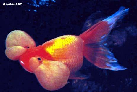 四眼水泡金鱼