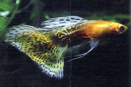 豹皮红尾孔雀鱼