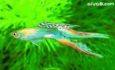 白金双剑孔雀鱼