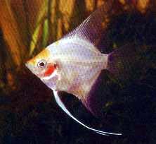 玻璃神仙鱼