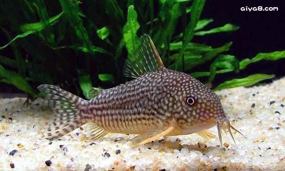 珍珠鼠鱼图片