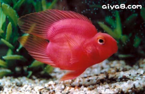 一颗心血鹦鹉鱼