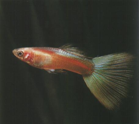 白金草尾孔雀鱼