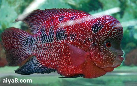 罗汉鱼的起源与发展