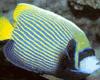 皇后神仙鱼