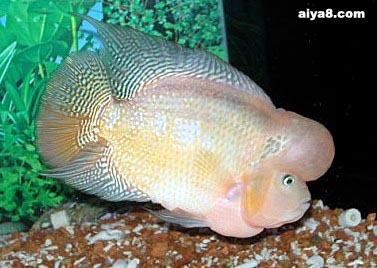 花罗汉鱼常见16种病