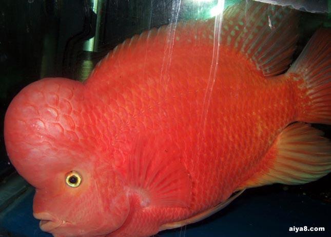 三类生活环境突变导致的罗汉鱼发病