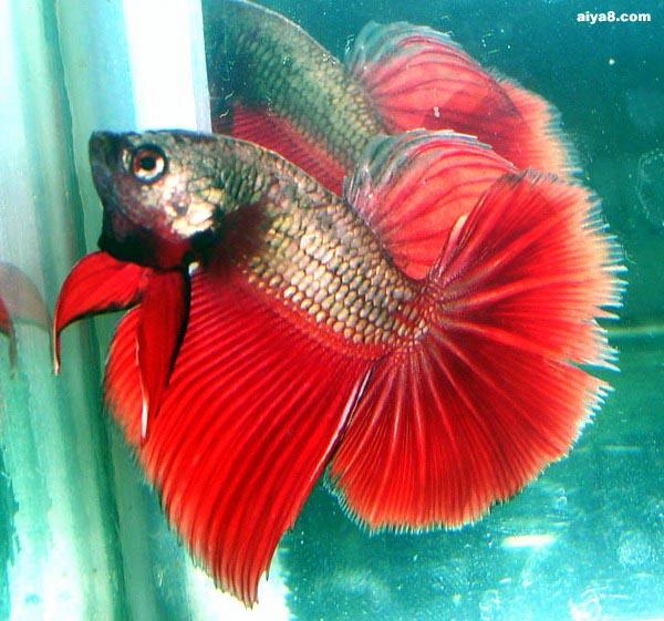 红斗鱼图片