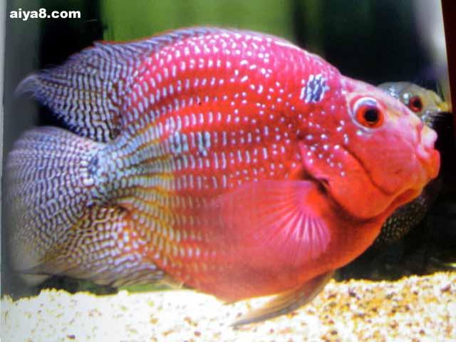 麒麟鹦鹉鱼图片