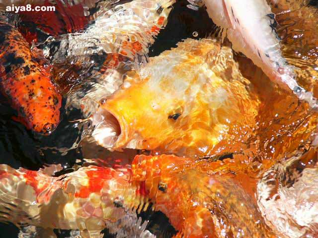 锦鲤鱼美图