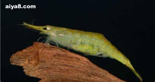 翠绿红鼻虾图片