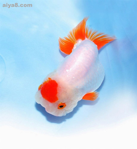 金鱼的选购饲养及繁殖
